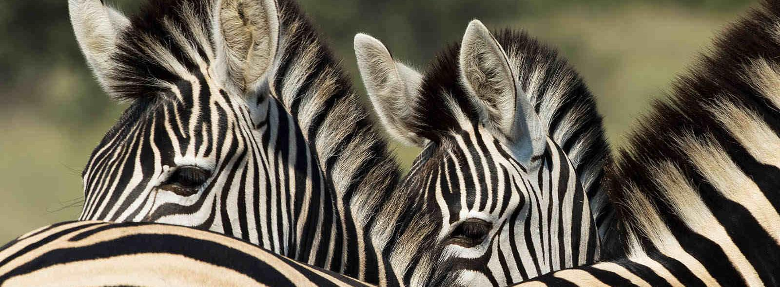 twee zebra's close-up